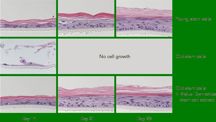 PhytoCellTec™ Malus Domestica Figure 2